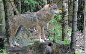 Alpha parc des loups