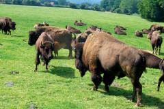 Rêve de Bisons