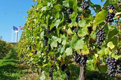 Le vignoble obernois