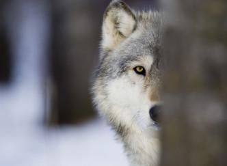 Dormir avec des loups