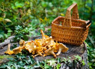 Quels champignons sont à cueillir dans votre région ?