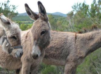 Balade à dos d'âne dans le massif des Maures