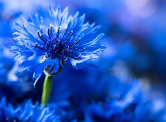 Les fleurs à semer en hiver